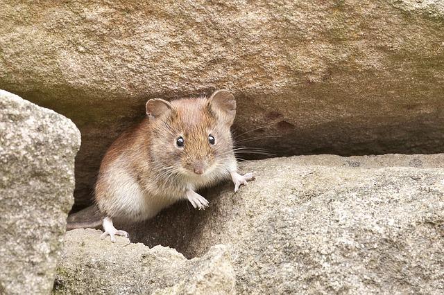 myš na kamenech