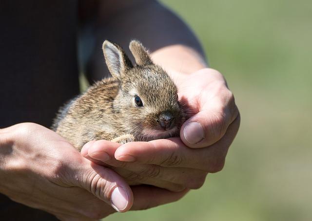 mládě králíka