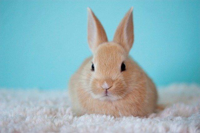 malinký králík