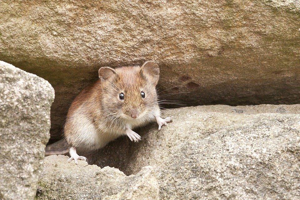 myš mezi kameny