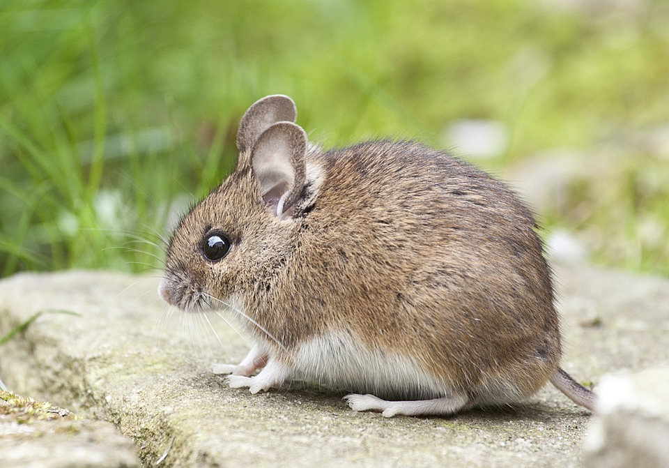 myš na kameni